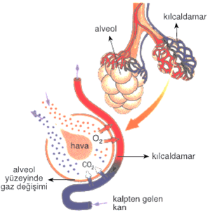 akciğer-alveolleri