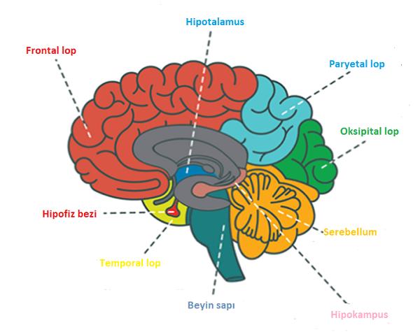 İnsanda Sinir Sistemi