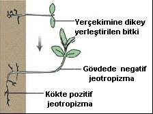 Bitkinin tepki vermesi örneği