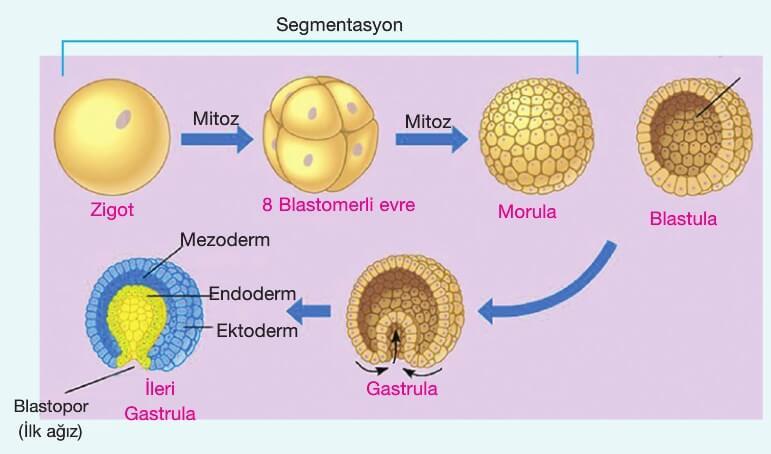 Embriyonik Gelişim