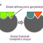 enzim-calismasi