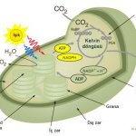 fotosentez-kloroplastin-icinde
