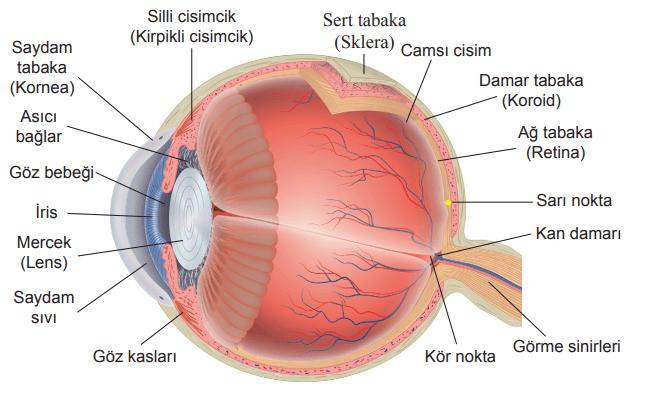 Göz Uyumu ile Işık Uyumunun Karşılaştırılması
