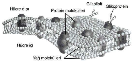 Hücre Zarı ve Madde Alışverişi