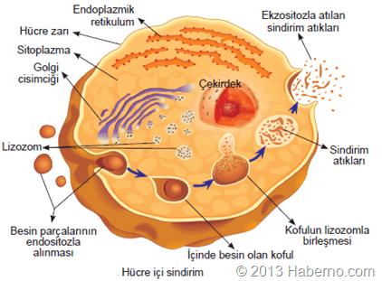 hücre-ici-sindirim