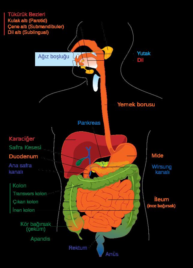 İnsan sindirim sistemi. Bağırsak yapısı