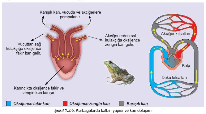 kurbagalarda-kalbin-yapisi-kan-dolasimi