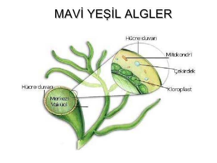 mavi-yesil-alg