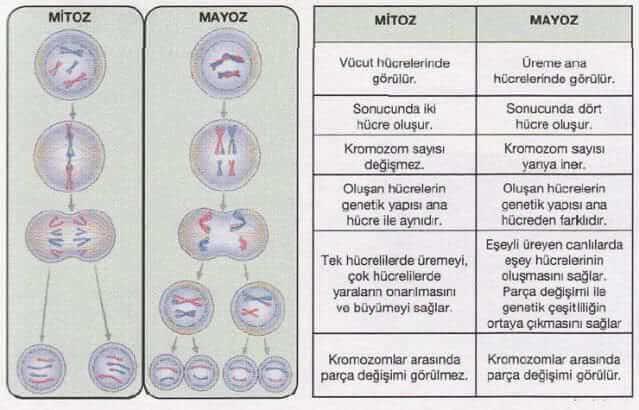 mayoz-mitoz-farki
