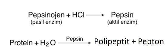 midede-proteinlerin-sindirim-tepkimesi