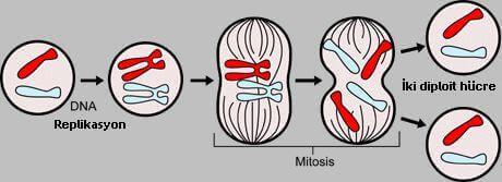 mitoz-genel