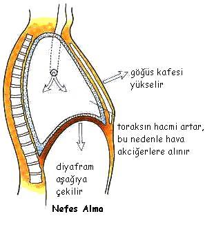 nefes-alma-mekanizması