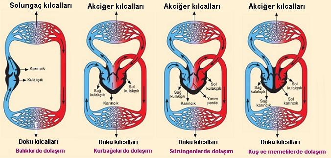omurgalilarda-dolasim-sistemi