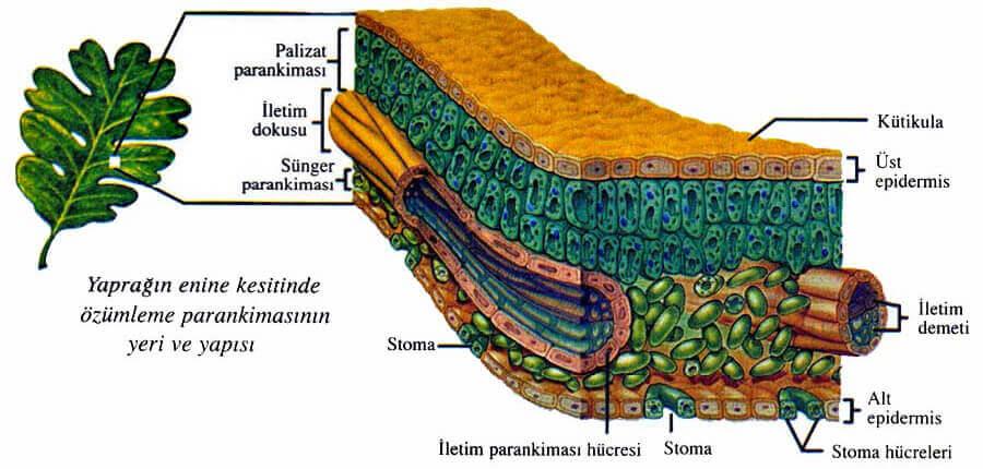 Bitkilerin Yapısı