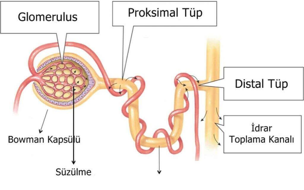 proksimal-tup