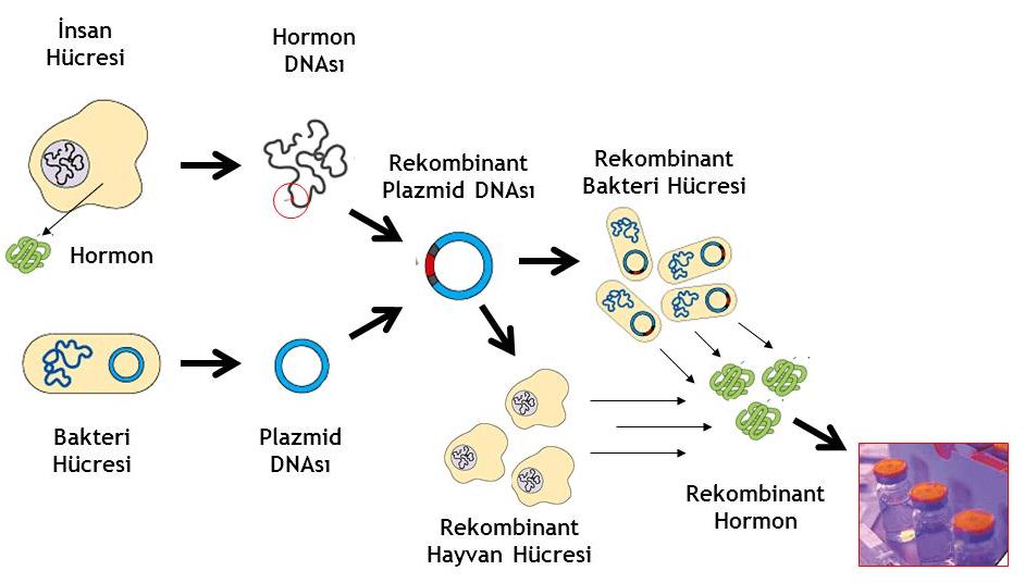 rekombinant-dna-uretimi