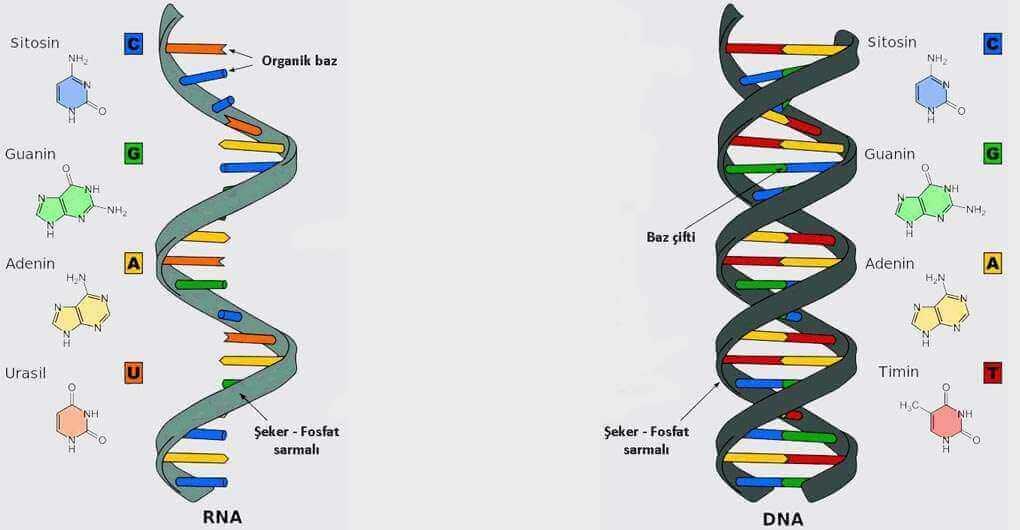 RNA - DNA karşılaştırma