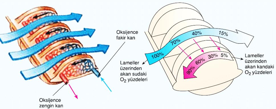 solungaçlarda-ters-akım-nasıl-gerçekleşir