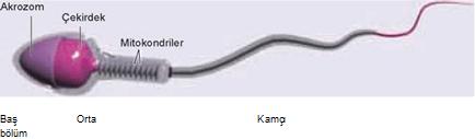 spermin yapisi