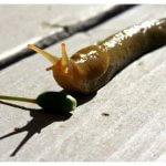 Sümüklü böcek