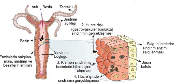 tek-uclu-eksik-sindirim-sistemi