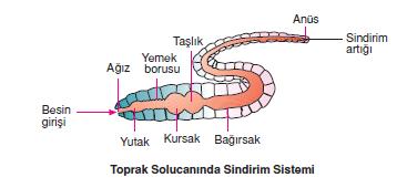 toprak-solucani-sindirim-sistemi